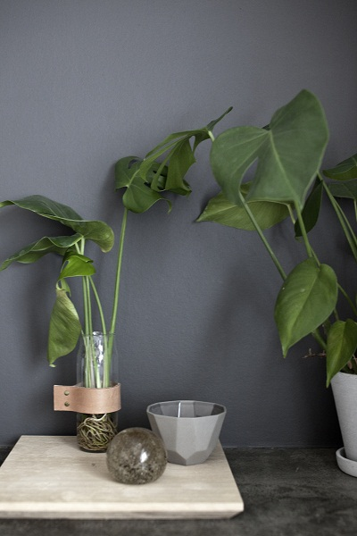 Monstera på rot i vase